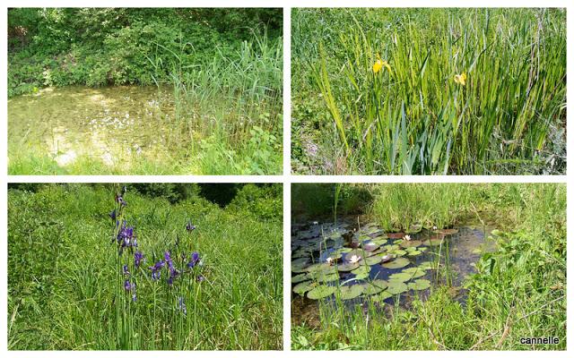 Iris jaune et bleu de Sibérie - Nénuphars .... en bordure du chemin de la pisciculture