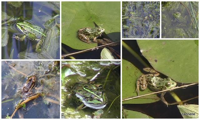 les grenouilles vertes des mares du chemin de la pisciculture