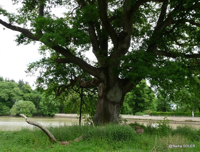 Chêne de Montorgueil